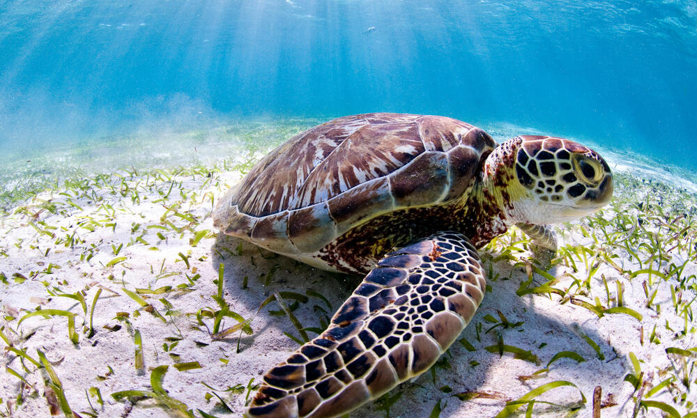 Sea turtle in Belize