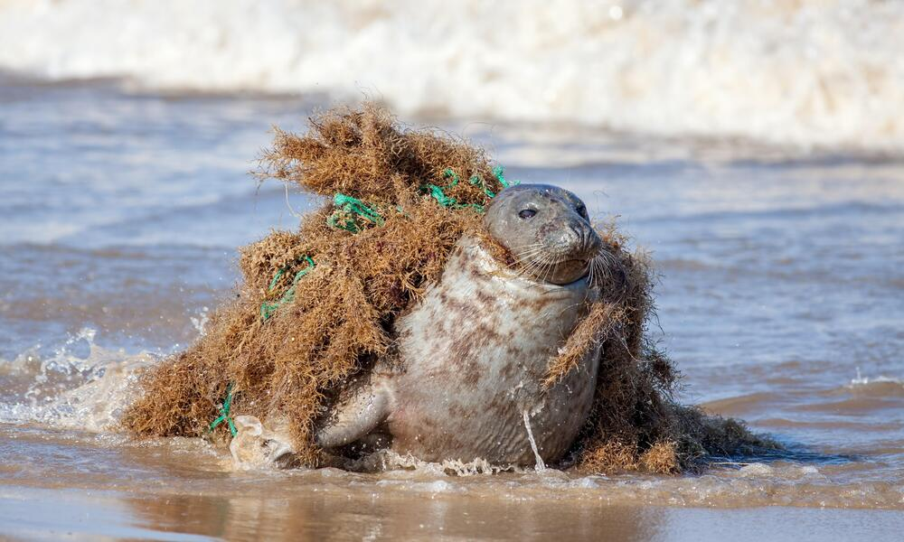 A large seal on the beach with its neck caught in abandoned fishing gear