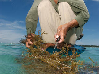 a man sits on the front of a small boat in blue waters and cuts a piece of farmed seaweed off its line