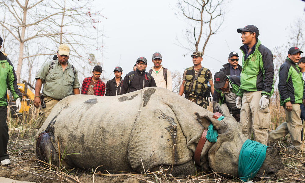 Sedated Rhino