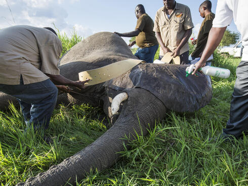 elephant collared in Selous