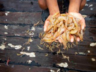 shrimp Antonio Busiello WW290773