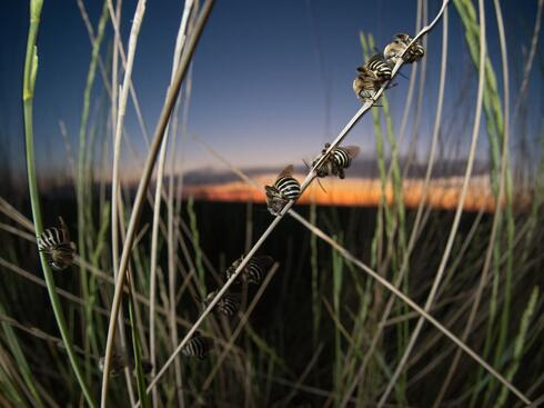 Night shot of several bees clinging to tall grass and sleeping