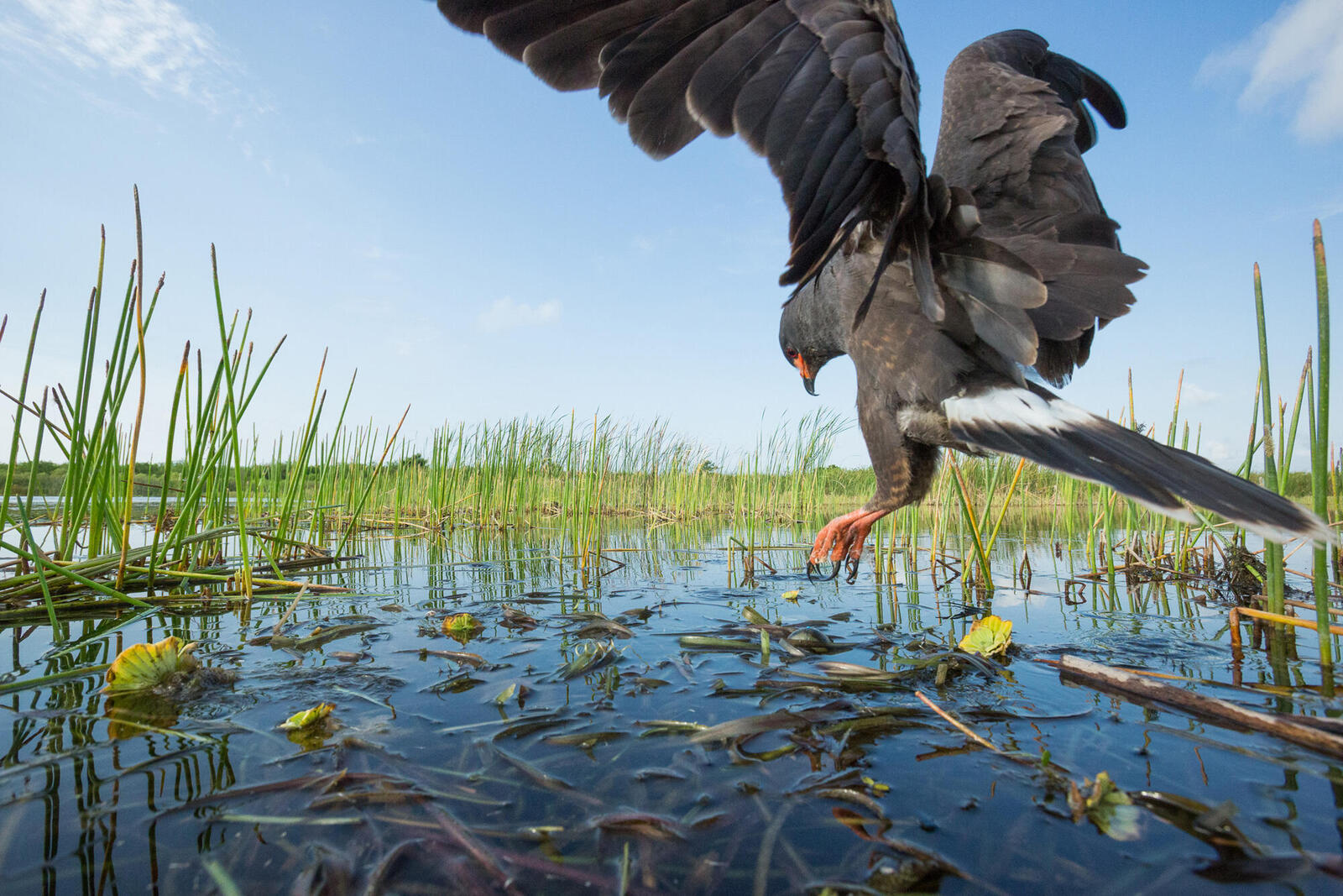 Snail kite over water