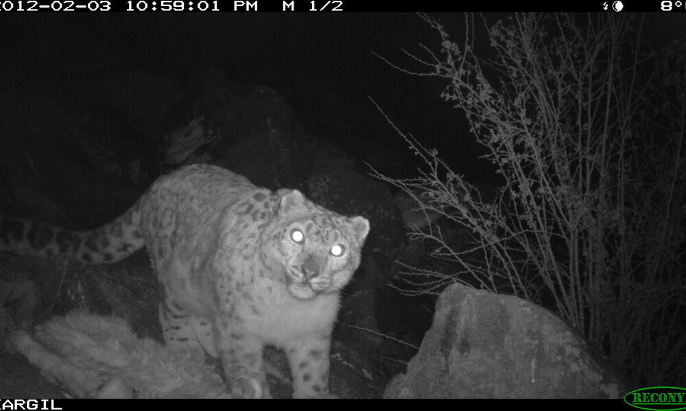 A snow leopard captured by a camera trap