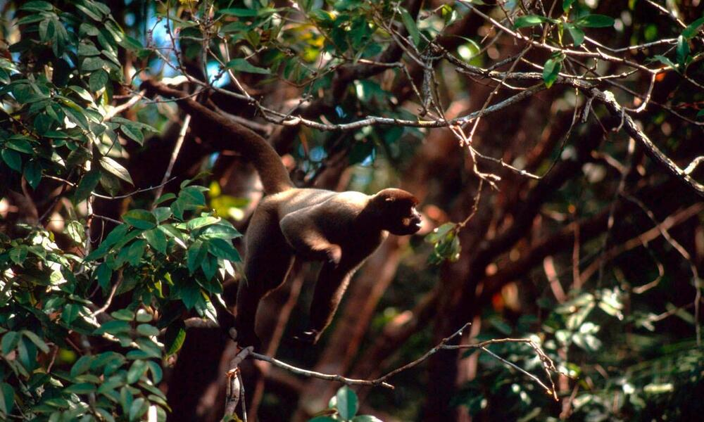 Spider Monkey (Ateles belzebuth) above the clay lick