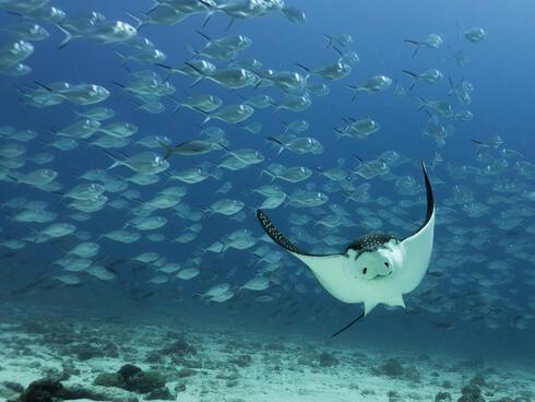 spotted eagle ray Daniel Versteeg
