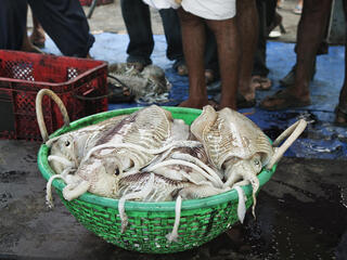 A green basket filled with squid from the day's catch