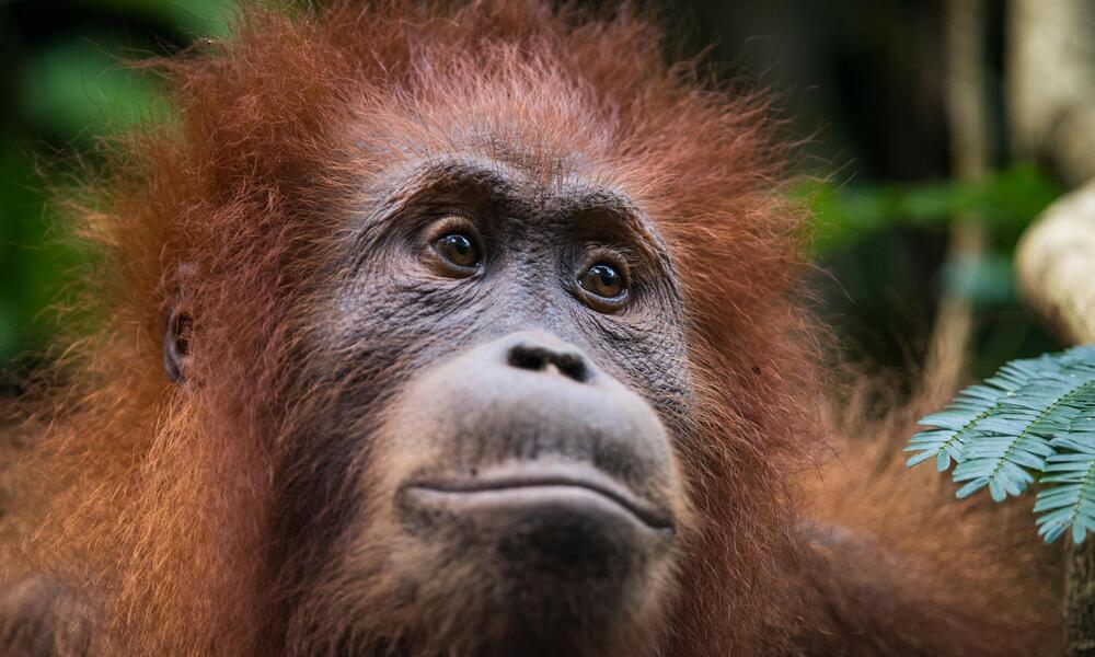 sumatran orangutan willy Neil Ever Osborne 3797
