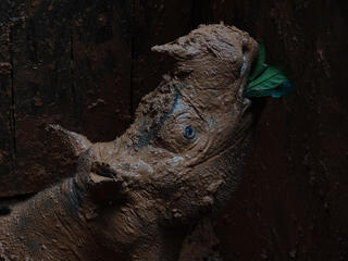 Sumatran rhino covered in mud