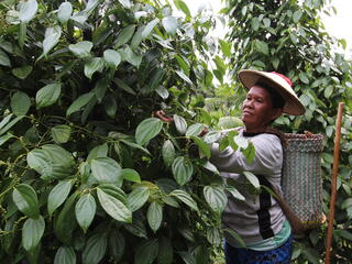 A woman in a straw hat picks pepper off of large green pepper vines