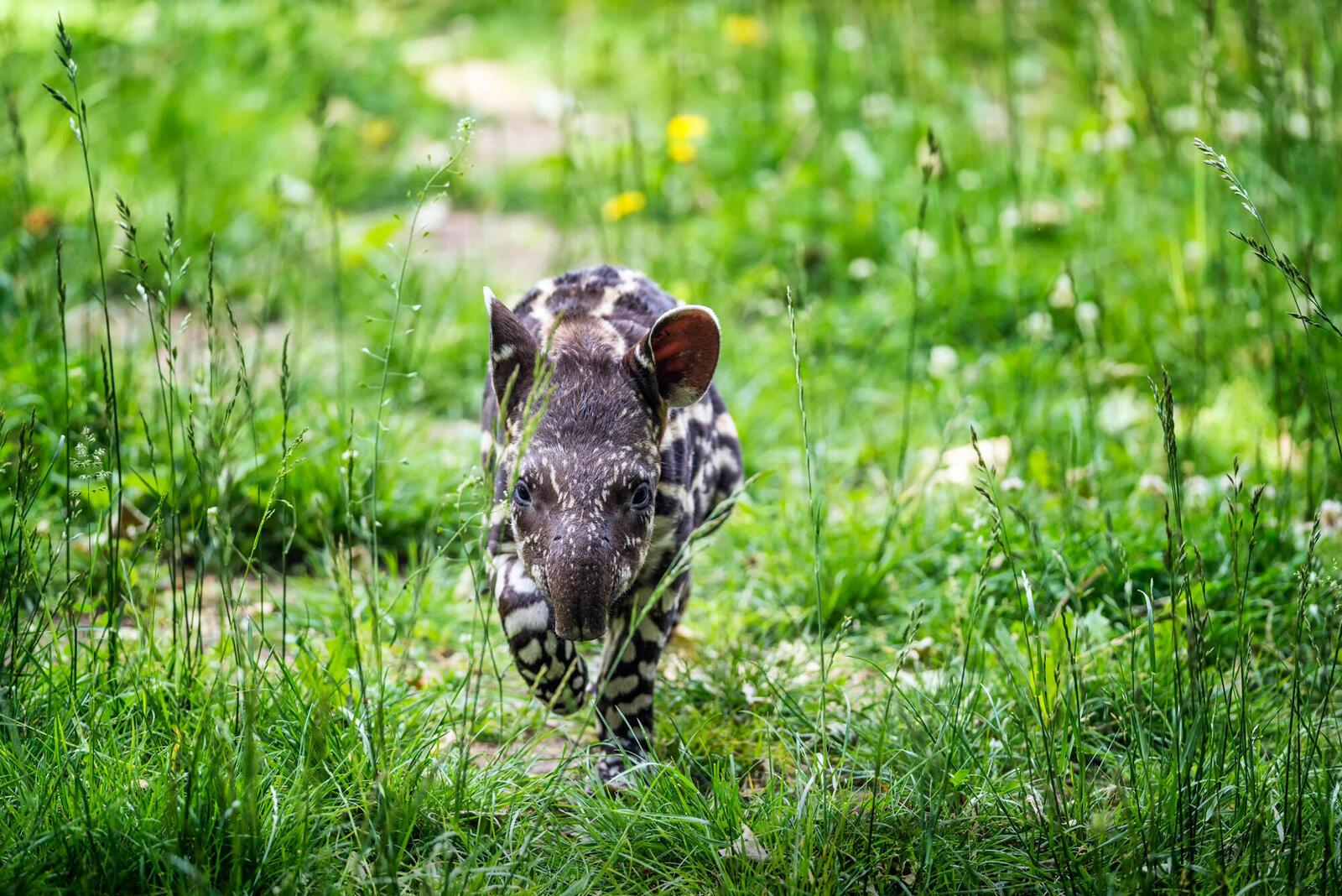 tapir winter2018