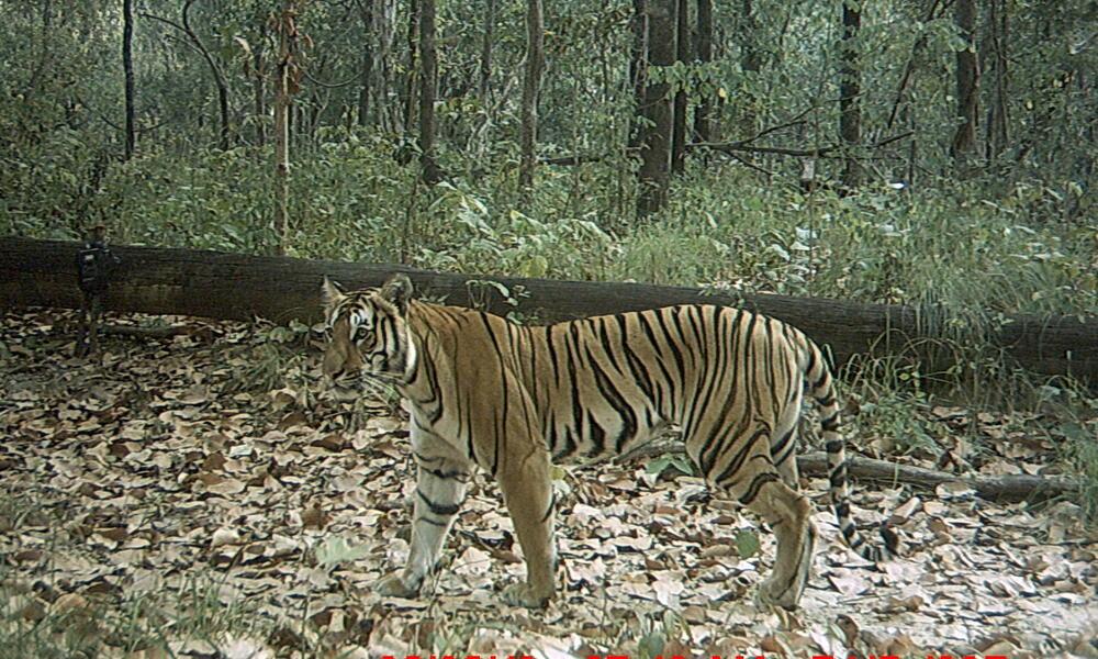 tiger_8.9.2012_Nepal_Camera_5