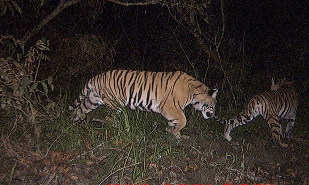 tiger_8.9.2012_Nepal_Camera_6