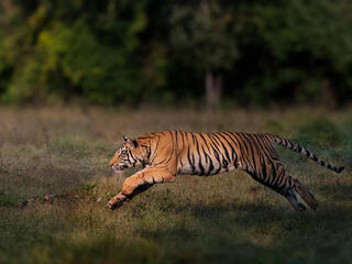 Tiger leaps in Bandhavgarh National Park, India