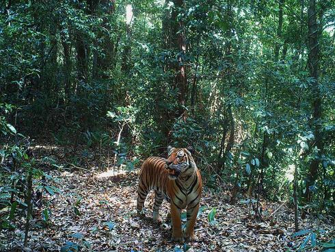 Camera trap image of a tiger in forests of Dawna Tenasserim landscape, Myanmar
