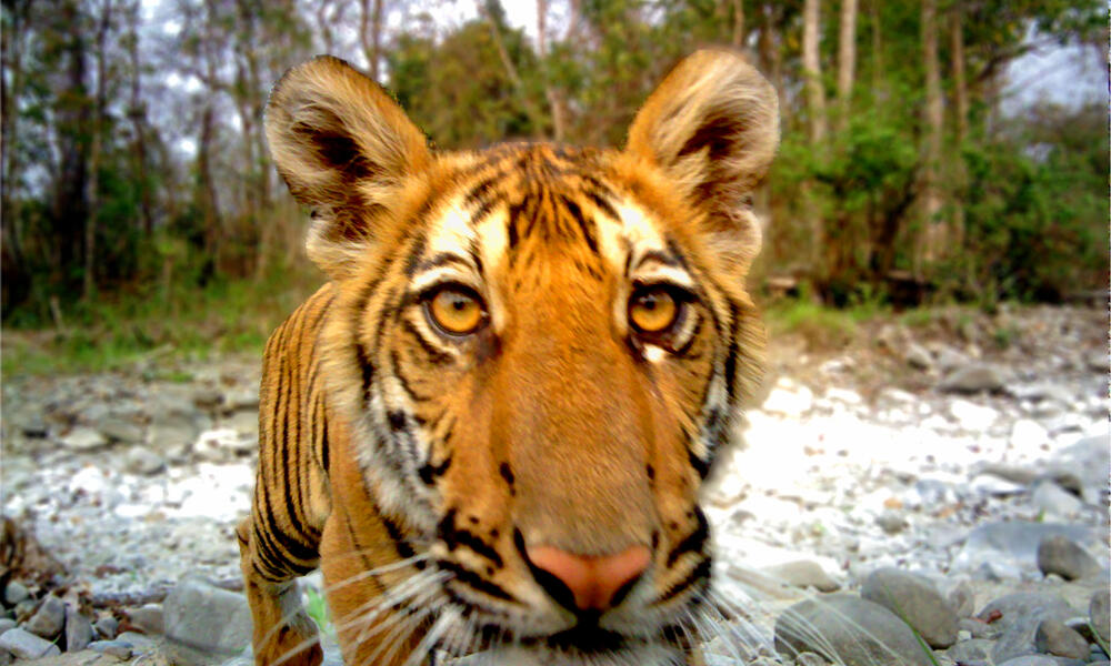 juvenile tiger in Royal Manas National Park