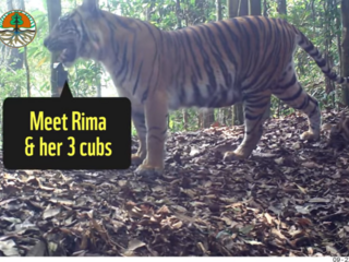 tiger footage Ministry of Environment and Forestry Indonesia