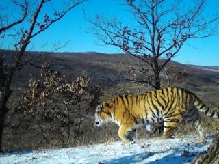 tiger in Komissarovsky Wildlife Refuge