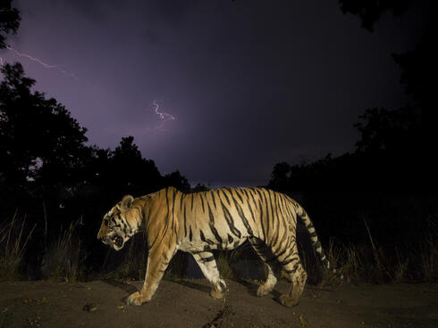 A tiger walking at night, with monsoon clouds and lightning.