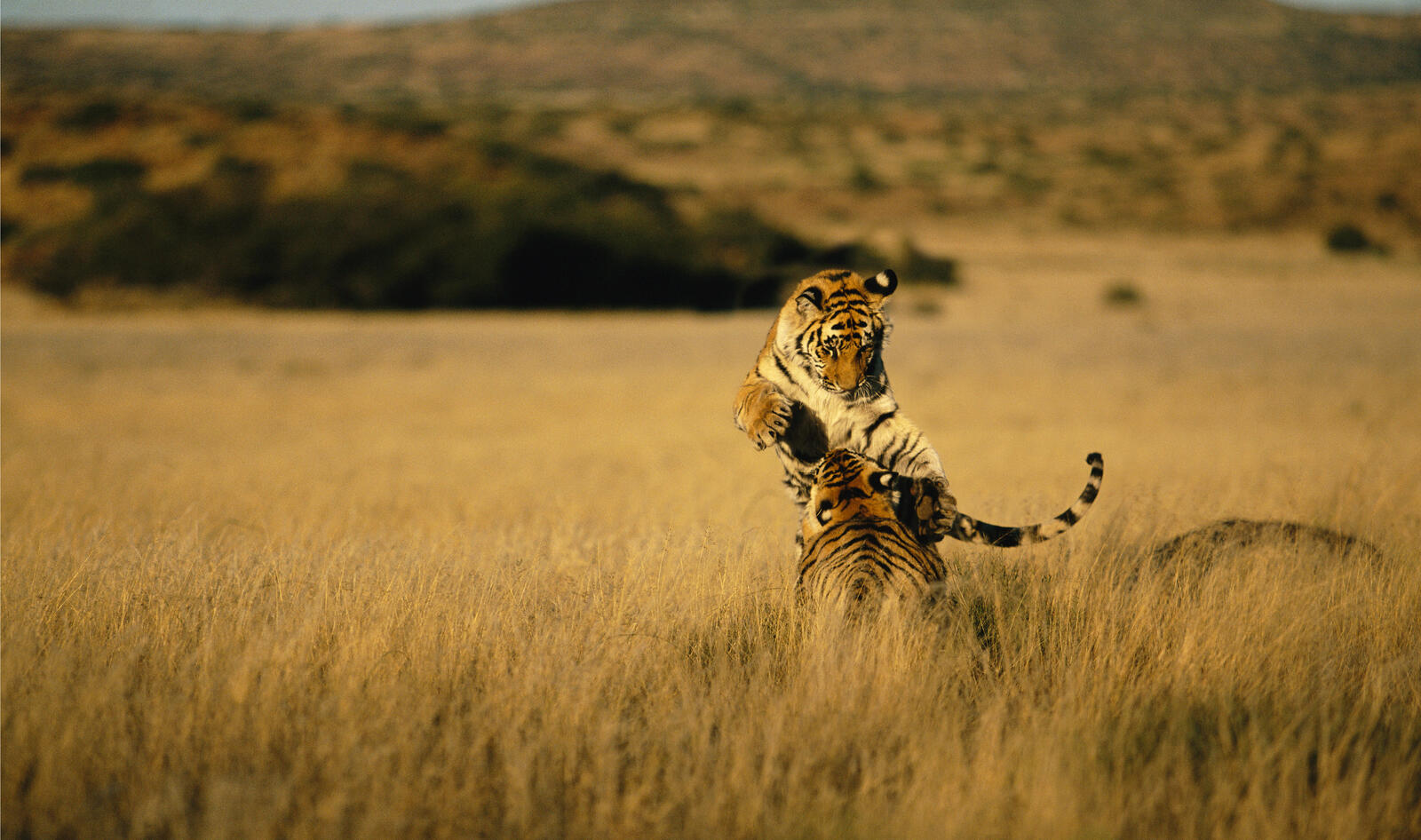 Two tigers leaping in the grasses