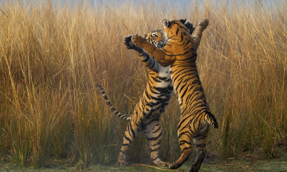 Tigers prancing and on hind legs.