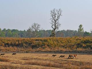 Tigress leads her cubs through Kanha National Park, India