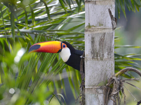 A toucan peeks out from behind a tree in the Atlantic Forest.