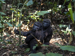 two western lowland gorillas sitting on the ground in the forest both look over their shoulders at the camera