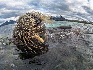 walrus spring2018