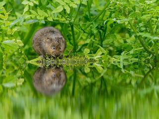 water vole Terry Whittaker WW24406