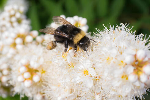 A close up of a black and yellow bumble bee on a long strand of white flowers