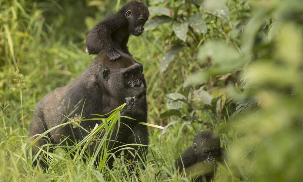 Gorilla twins Inganda and Inguka with their mother