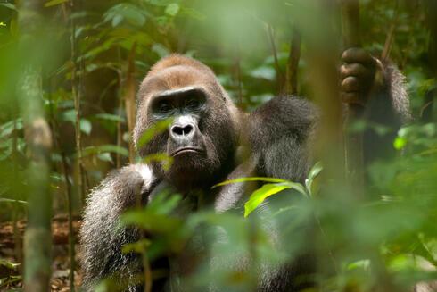 western lowland gorilla WW22719 Jabruson
