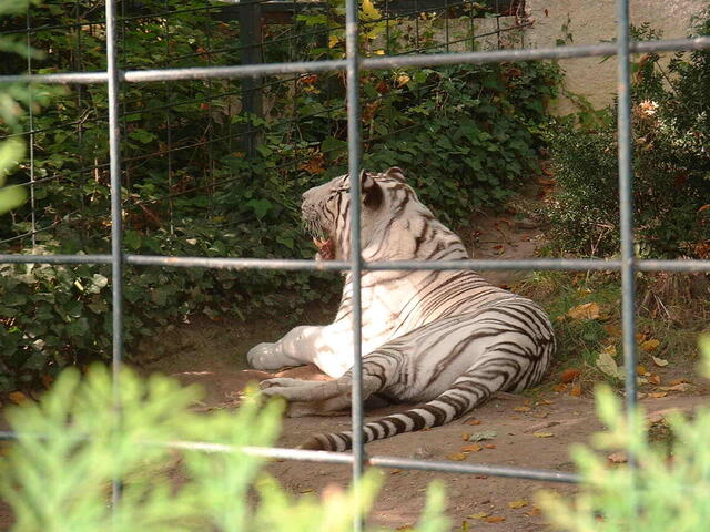 A white tiger seen through the bars of a cage laying down with its mouth open in its enclosure in a zoo