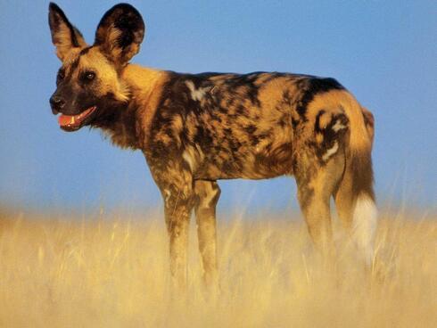 wild dog in grass
