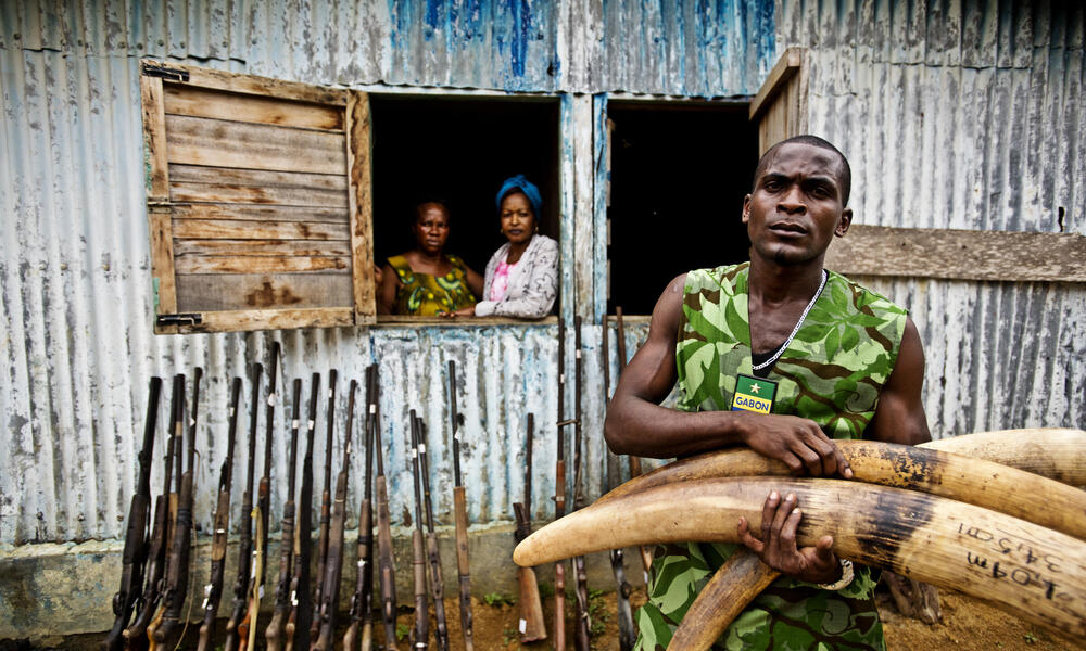 Mba Ndong Marius, an Eco Guard from Oyem, holds seized ivory tusks. These tusks became part of a five-ton ivory burn by the government of Gabon, signaling that the illegal ivory trade and elephant poaching will not be tolerated in the country.