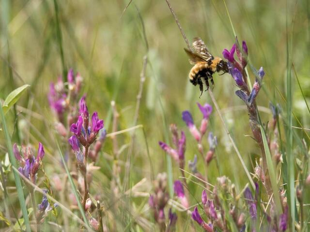 A yellow bumble bee landing on a plant with small purple flower buds surrounded by grassland