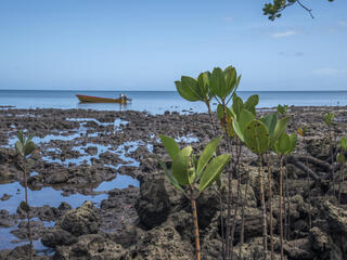 Young mangrove plants growing on the coastline with a boat on the water in the distance