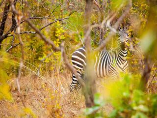 zebra mirror Greg Armfield WW1113071
